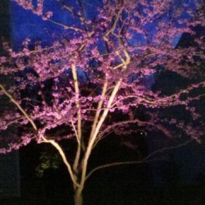 LED spot light illuminating Red Bud tree
